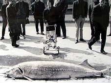 Danube Sturgeon and Beluga Fishing at Vidin